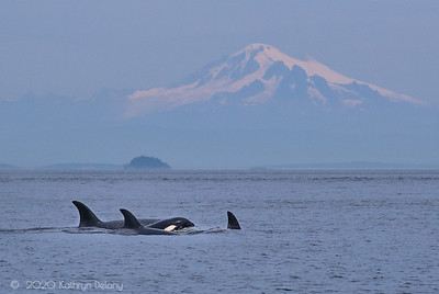 Transient Orcas and Mt Baker