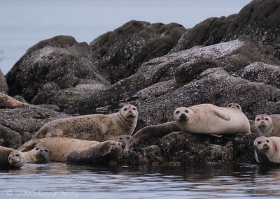 Harbor Seals Photo Bomb
