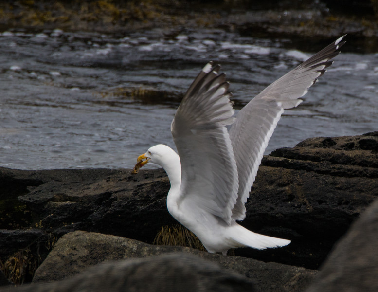 seagull             311
