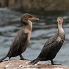 cormorants            2611