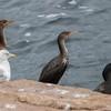 cormorant              711
