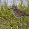 shore bird        1211