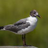 Laughing Gull, The Serious Look