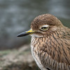 Indian Thick-knee or Eurasian Thick-knee?