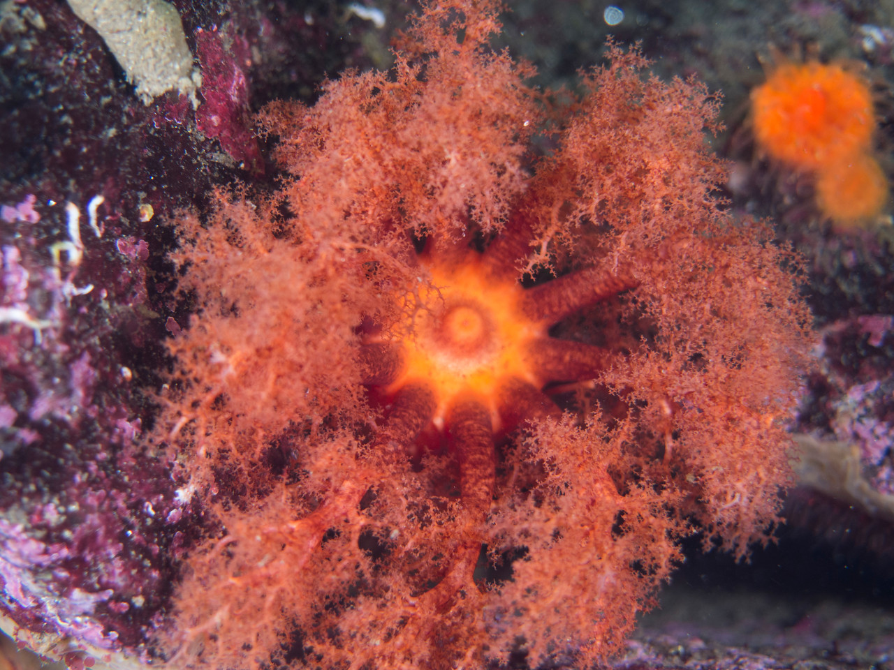 Orange Sea Cucumber