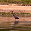 "Great Blue Heron<br /> <br />  <a href=""http://en.wikipedia.org/wiki/Great_Blue_Heron"">http://en.wikipedia.org/wiki/Great_Blue_Heron</a>"