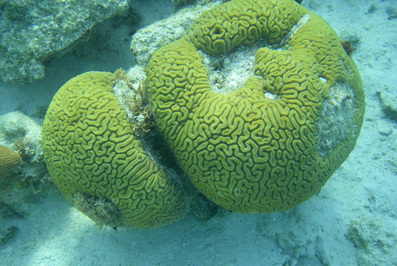 Here are a couple of nice brain corals, each about 18 inches in diameter.