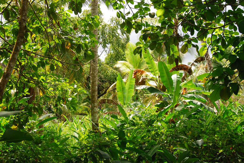 The jungle in Kuna Yala is well preserved and pristine.  The Kuna use the jungle for hunting and gathering, not for logging in quest of a dollar.  We saw wild cashew trees, as well as balsa, kapok, and various exotic hardwoods.