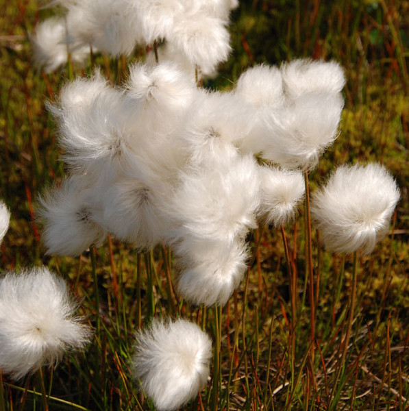 This is cotton grass close up.  Each little ball is about 1.5 inches in diameter, and very soft and delicate.