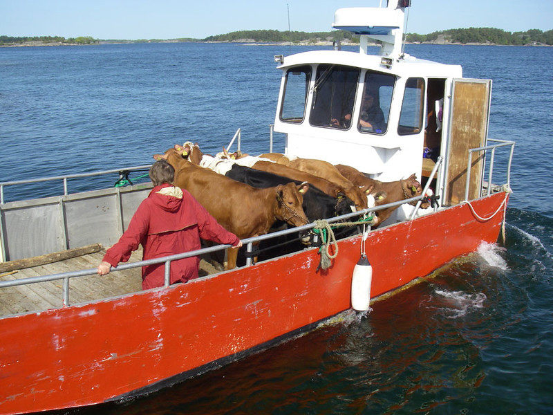 Here's a load of cows heading to their summer pasture on one of the islands.