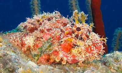 Scorpionfish, Belize.