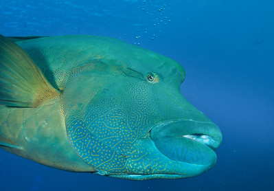 Napoleon wrasse deep in thought. See the thought bubbles? Palau.