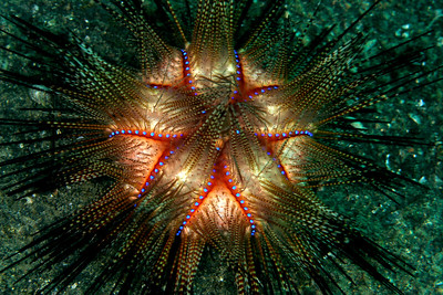 A sea urchin appearing to be aglow from within when lit by my strobe.  Lembeh, Indonesia.