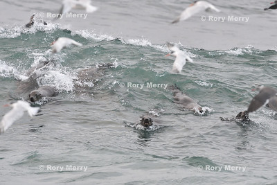 Birds and Sea Lions Feeding Frenzy