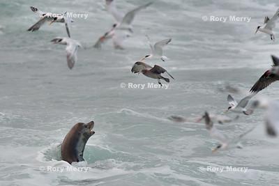Birds and Sea Lions Feeding Frenzy