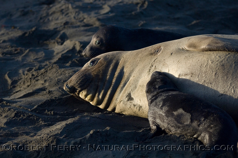 Mom with newborn pup, nursing; dawn, Piedras Blancas preserve.