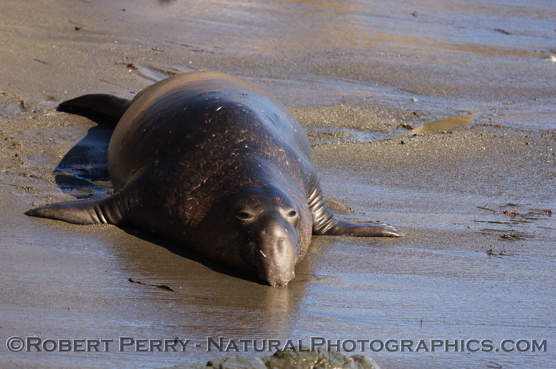 Male, prostrate on wet sand. Piedras Blancas preserve.