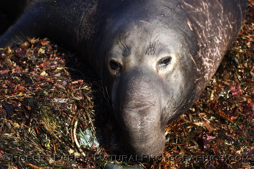 Bull, proboscis extended; on seaweeds, Piedras Blancas preserve.