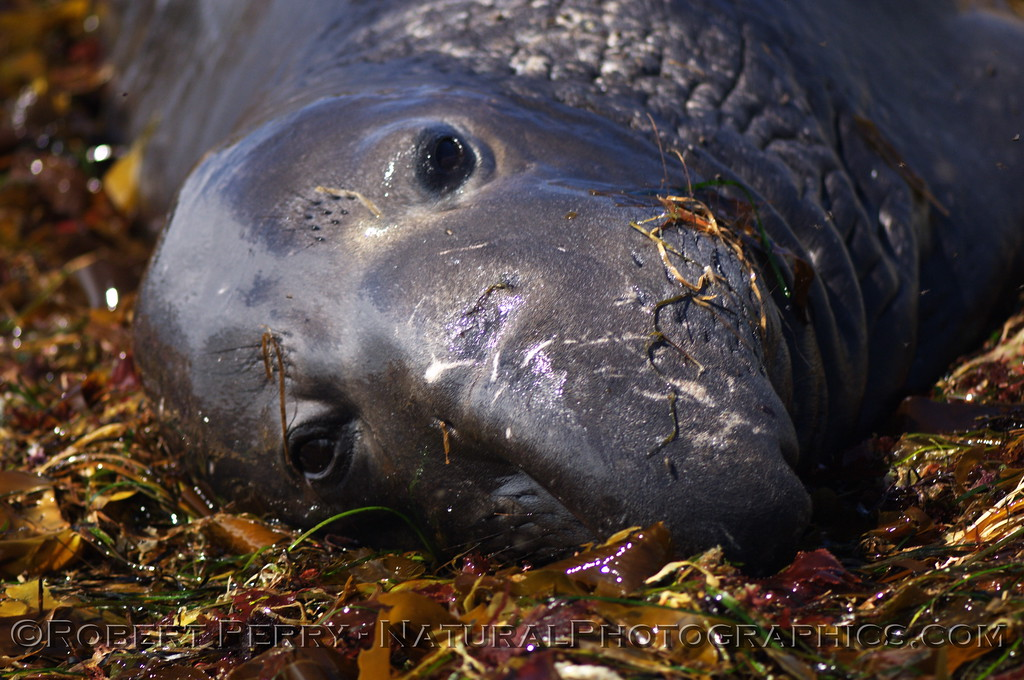 Head view of young male resting on a bed of algae debris at Piedras Blancas.