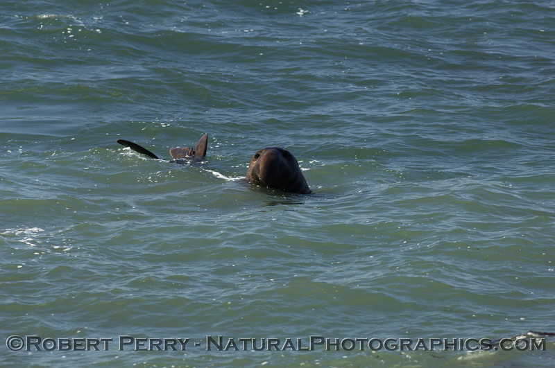 Young male elephant seal takes a swim.
