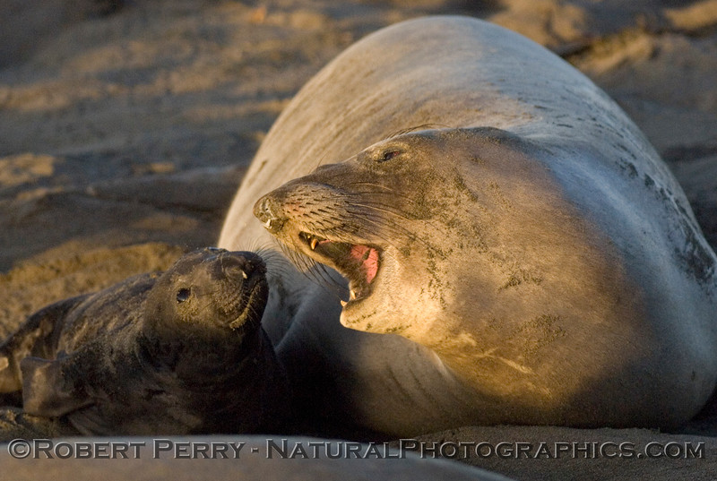Elephant Seal mom with calf in the morning sun.