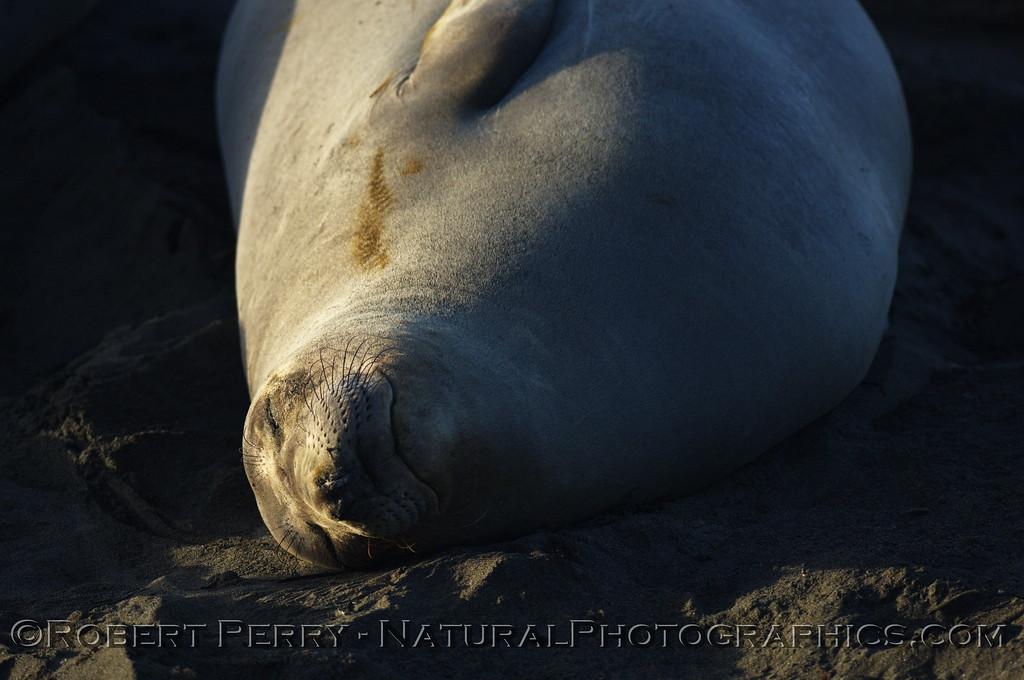 Female, asleep; Piedras Blancas preserve.