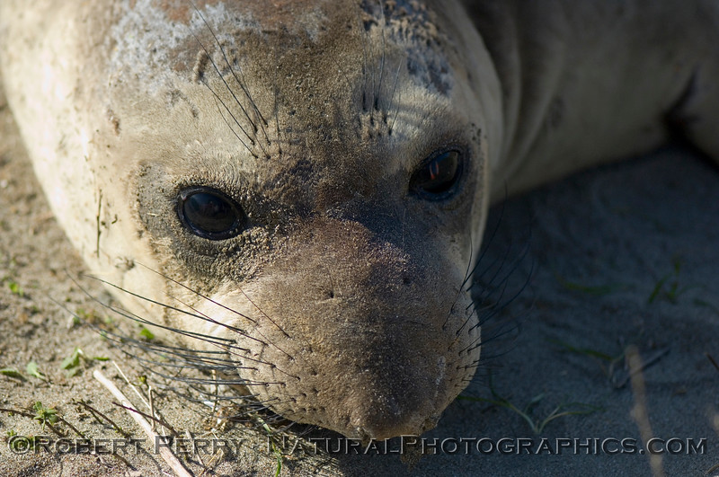 Yearling - portrait; Piedras Blancas preserve.