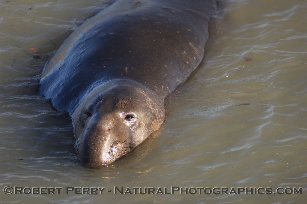 Young male swimming in shallow water; Piedras Blancas preserve.