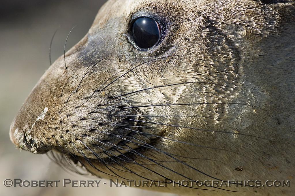 Side view of head: yearling elephant seal. Piedras Blancas preserve.