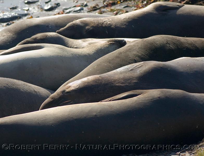 Ripples in the sun:  females asleep at Piedras Blancas.