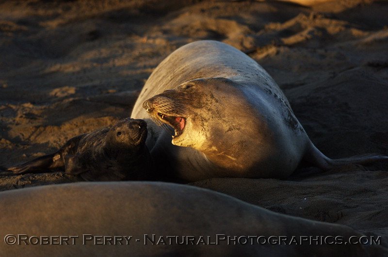 Mother communicates with newborn pup. Piedras Blancas preserve.