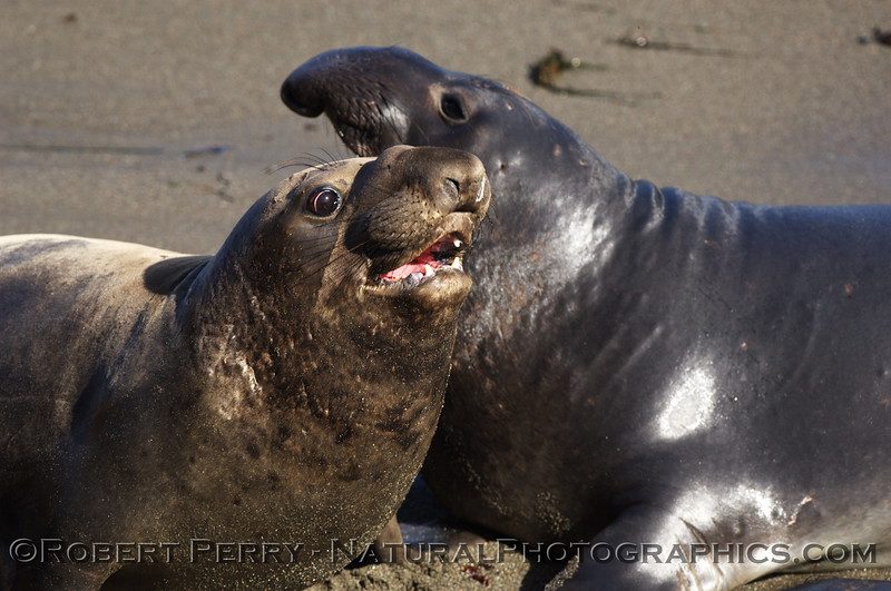 Two young males engaged in posturing; Piedras Blancas preserve.