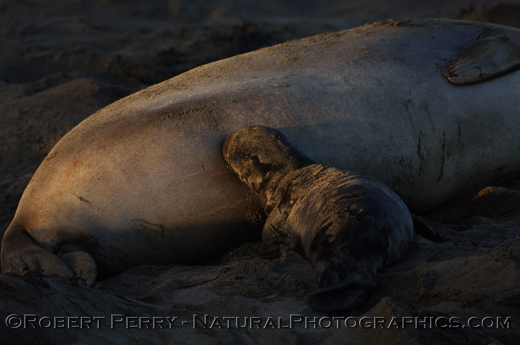Dawn at Piedras Blancas preserve, newborn pup nursing.