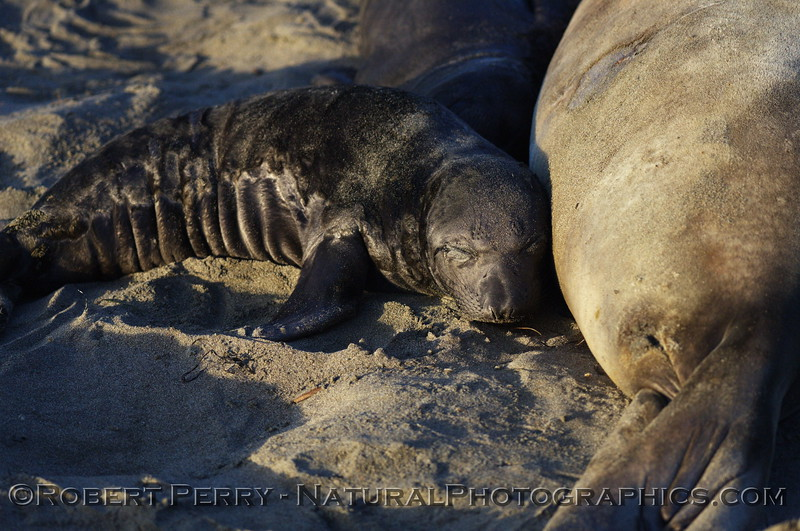 Newborn pup sleeps after a good meal. Piedras Blancas preserve.