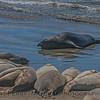 Mirounga angustirostris on beach 2016 09-26 Piedras Blancas-030