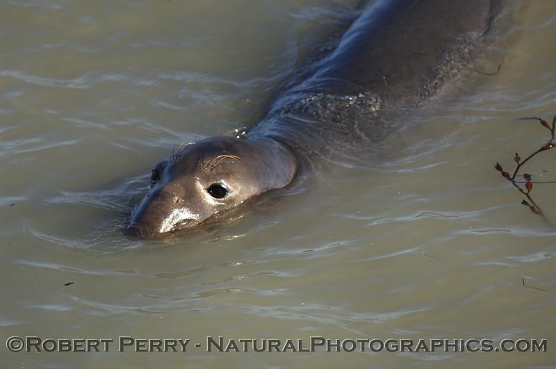 Mirounga angustirostis in water 2007 01-06 Piedras blancas--5003