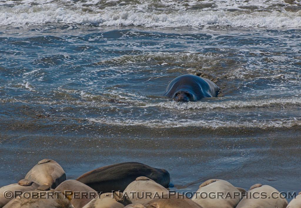 Mirounga angustirostris on beach 2016 09-26 Piedras Blancas-018