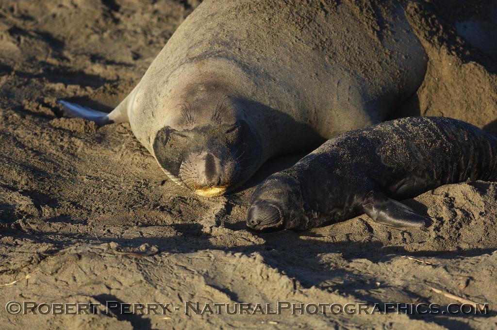Mother and newborn pup, asleep on the beach; Piedras Blancas preserve.