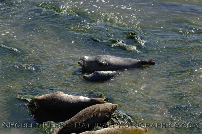 Harbor seal mom and pup.  Carpenteria oil pier.