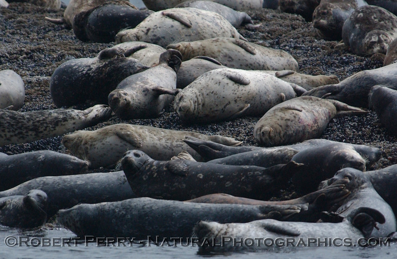 Harbor Seal rookery, San Juan Islands, WA.