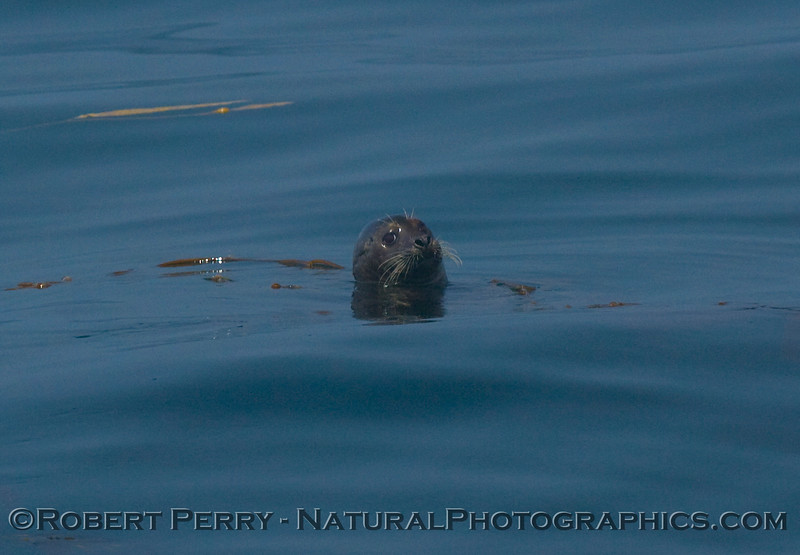 In the middle of the Santa Barbara Channel, a lone Harbor Seal (Phoca vitulina) pops his head up to take a look at the boat.