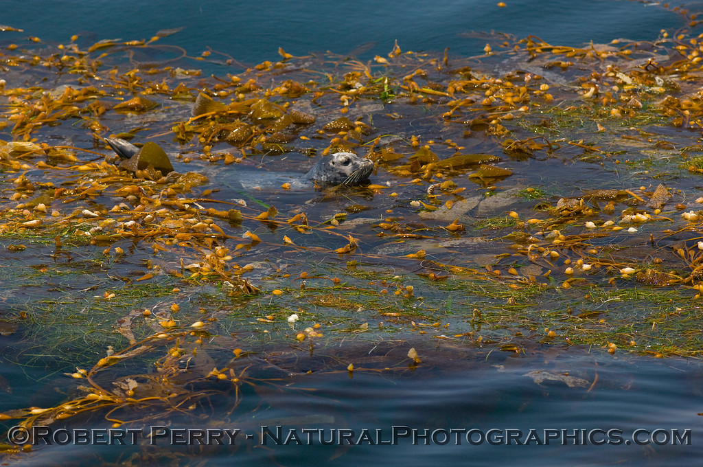 4 of 4: Harbor Seal (Phoca vitulina) rests and hides in a drifting paddy of giant kelp (Macrocystis)in the Santa Barbara Channel.