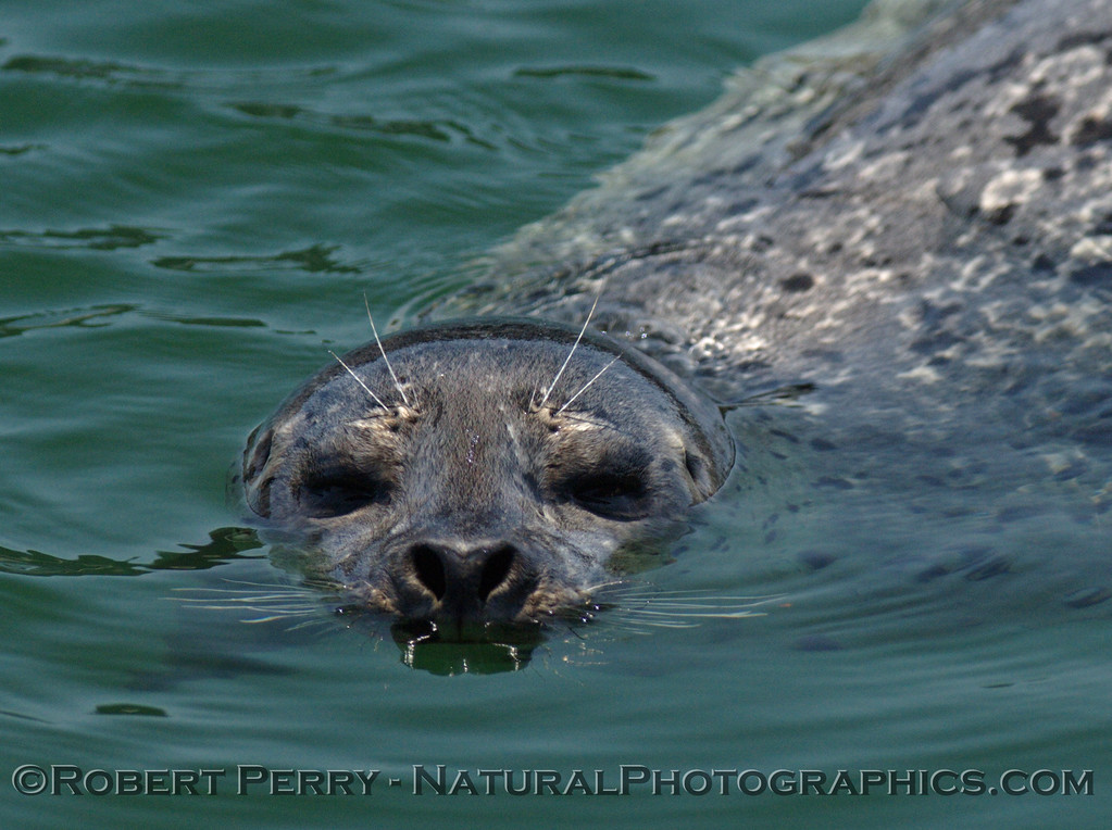 A series of NorCal Harbor Seals (Phoca vitulina) from Ft. Bragg, with thanks to fish market at the Noyo Fishing Center.