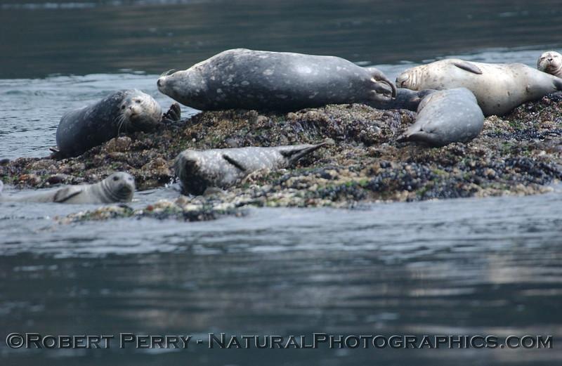 Harbor seals hauled out on a small rock island. Juan de Fuca.