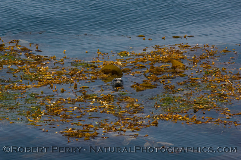 3 of 4: Harbor Seal (Phoca vitulina) rests and hides in a drifting paddy of giant kelp (Macrocystis)in the Santa Barbara Channel.