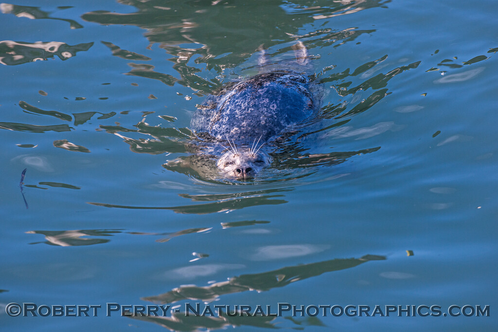 Phoca vitulina CLOSE 2016 11-09 Bodega Bay-c-013