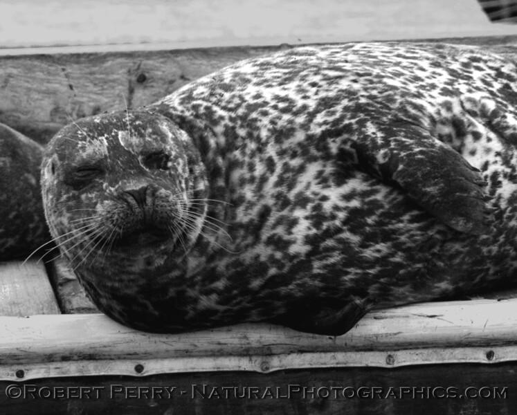 Black and white portrait of a Harbor Seal.  Santa Barbara Harbor.