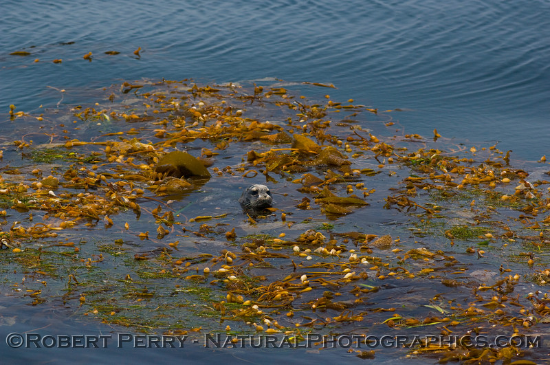 2 of 4: Harbor Seal (Phoca vitulina) rests and hides in a drifting paddy of giant kelp (Macrocystis)in the Santa Barbara Channel.