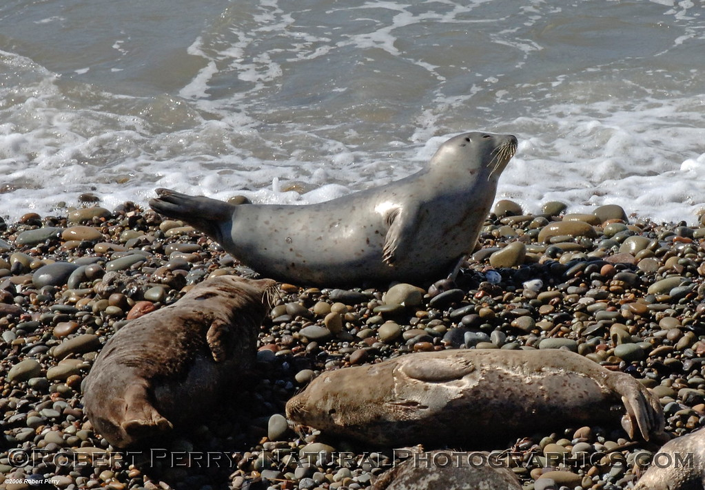 "Three resting harbor seals, one shows the characteristic ""phocid arch.""   Carpenterial oil pier."