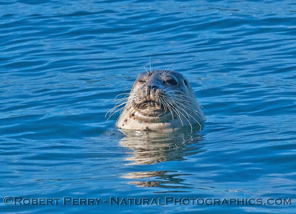 Phoca vitulina 2016 11-29 Bodega Bay-c-007